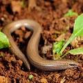 змееящерица